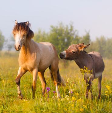 poney ane cheval